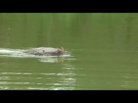 Brunei River Monster Captured on Video!