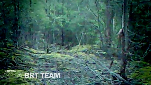 Did they see a thylacine? Footage released after 'encounter with Tassie tiger'