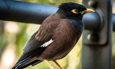Invasive bird species need suitable climates and other aliens to flourish – Science News – ABC News